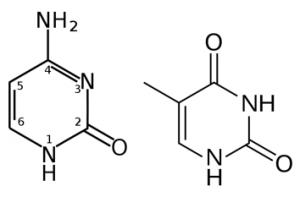 Perbedaan SITOSIN dan TIMIN Lengkap dengan Pengertian dan Penjelasan nya , pengertian sitosin, pengertian timin, hingga perbedaan sitosin dan timin,