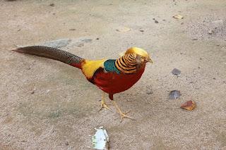 طائر التدرج الذهبي الببغاء القرمزي او المكاو القرمزي