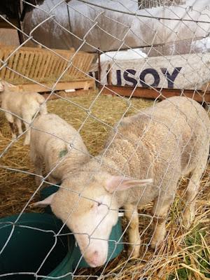 merasız koyun yetiştiriciliği