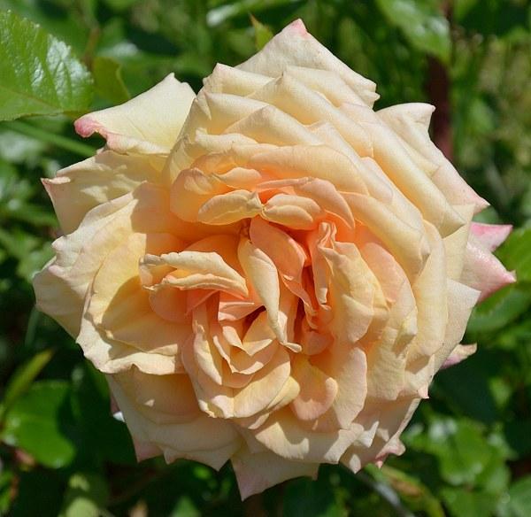 Barock сорт розы фото саженцы Минск