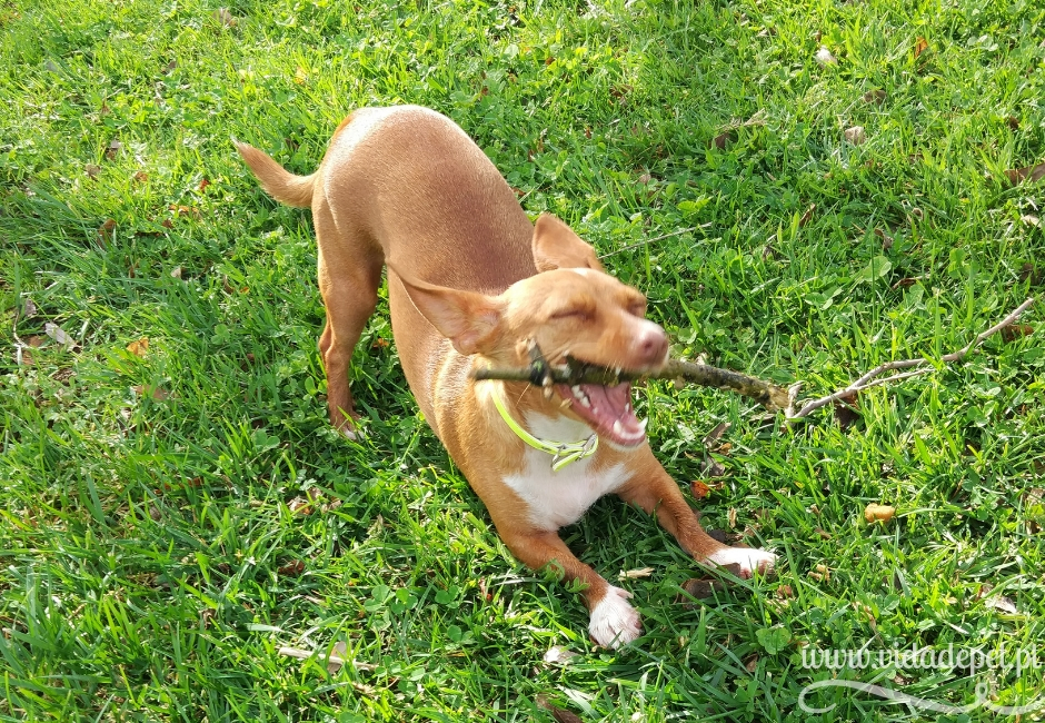 Erros na educação do cão + comunicação canina + podengo português + pinscher anão + cão a roer pau + brincar + blogue português + sobre animais de estimação + vida de pet .pt + pedro e telma