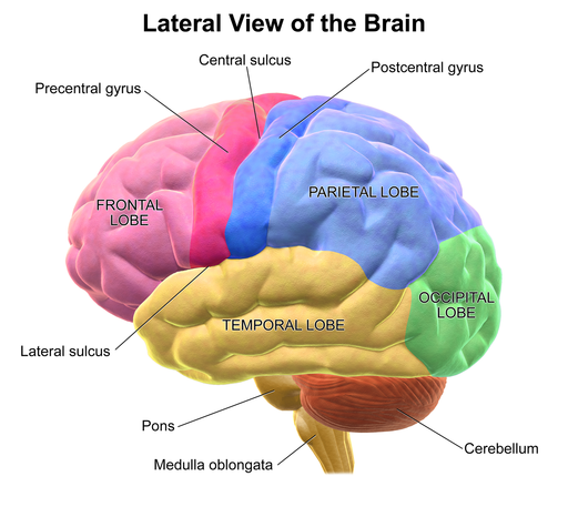 Lateral view of the brain, with the different lobes labelled
