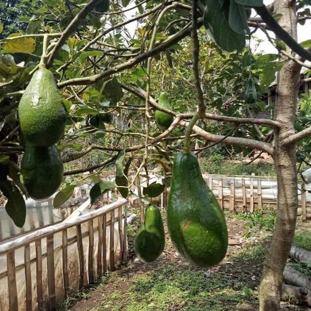 Bibit Alpukat yamagata cepat berbuah bibit hasil stek Banten