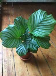 Calathea-orbifolia