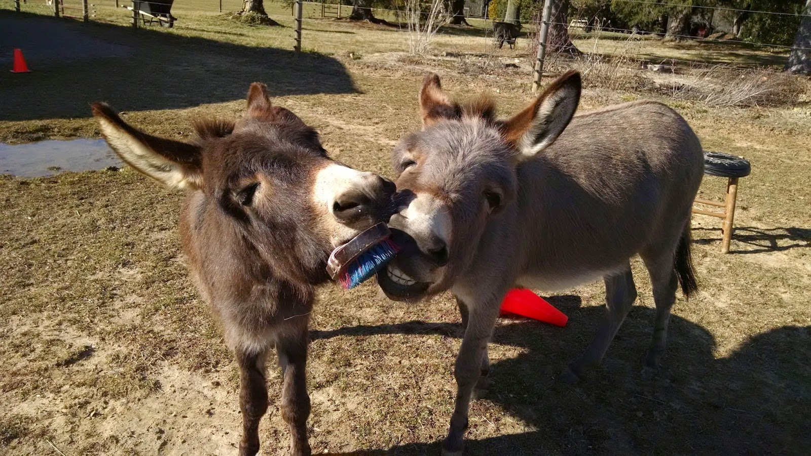 two miniature donkeys with brush in their mouth