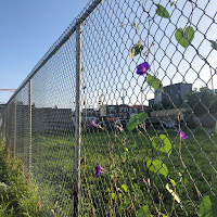 A South Philly fence entwined with purple clematis flowers