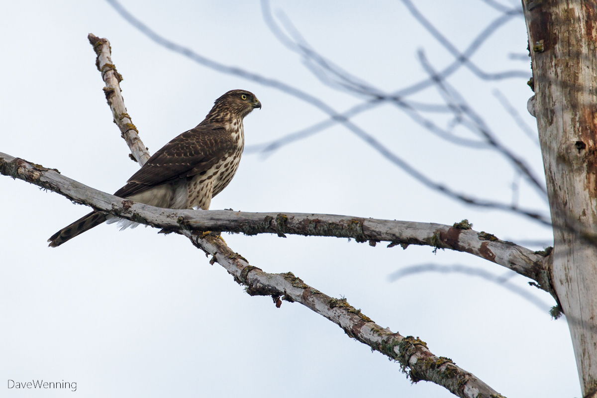 Cooper's Hawk in the Skagit River Delta