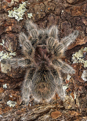 chilean-rose-tarantula