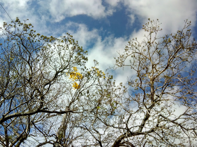 Árvore de Ipê amarelo começando a florescer