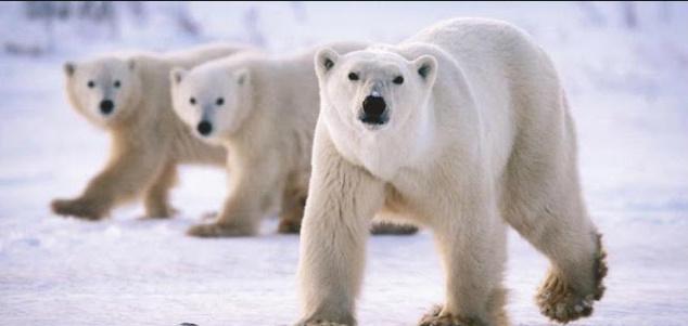 5 Negara yang Menyajikan Wisata ada Beruang Kutub