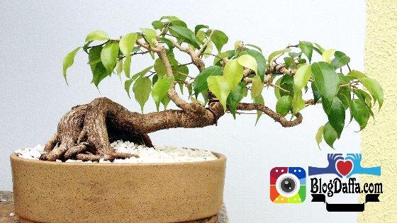 Jenis bonsai beringin Ficus Benjamina