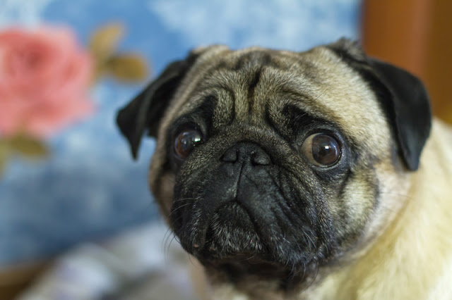 Portrait of a sad pug