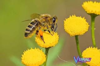 Contoh Hewan Insecta Lebah