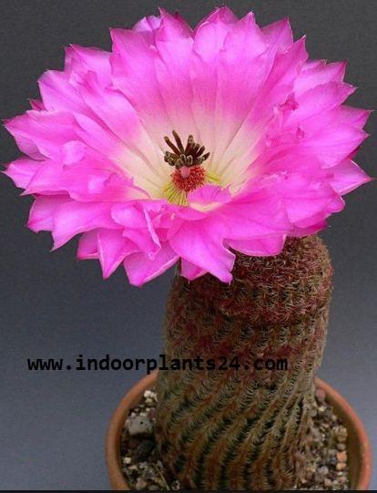 Echinocereus Pectinatus Cactaceae HEDGEHOG CACTUS picture