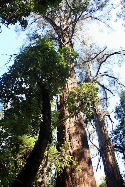 very tall Mountain Ash tree