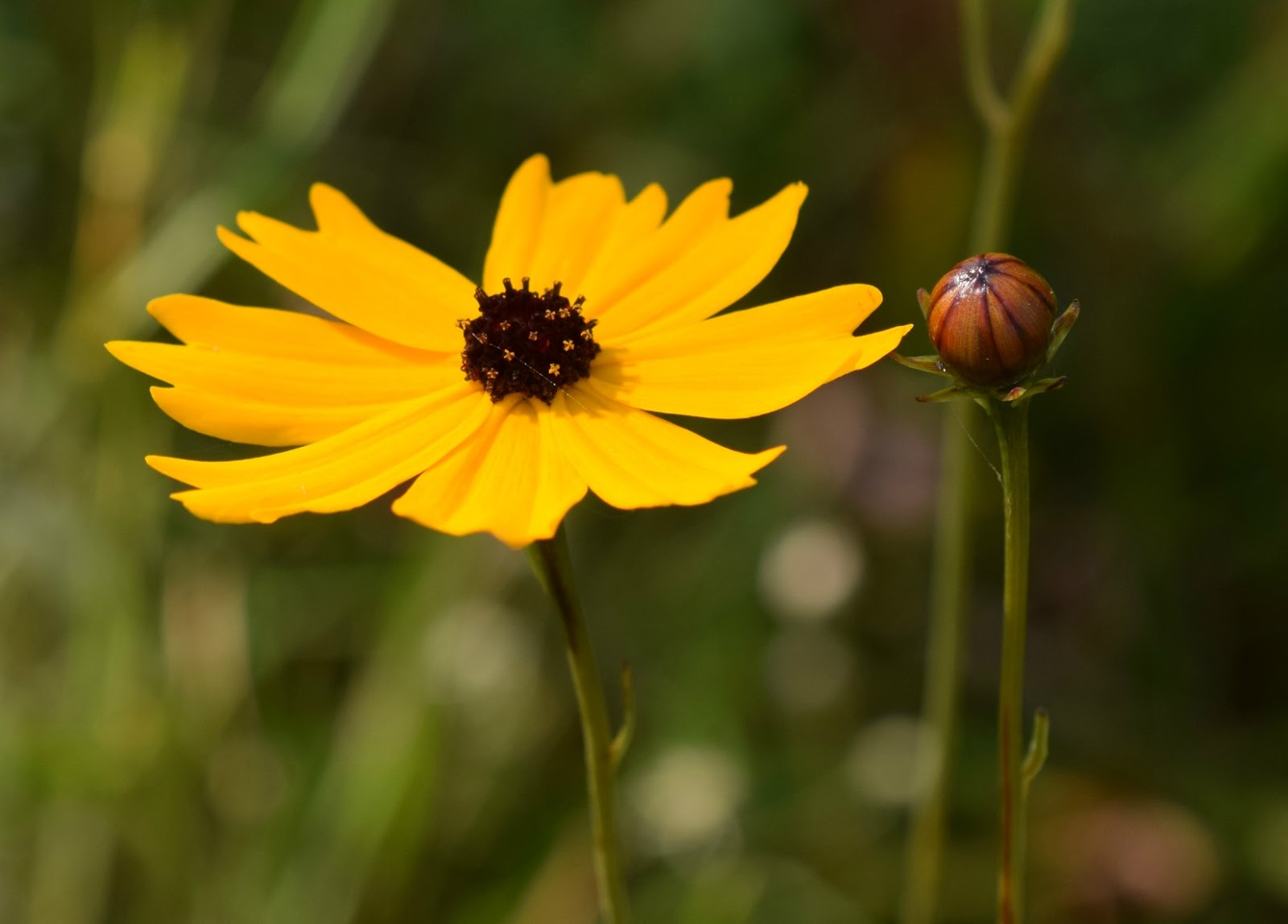 Using Georgia Native Plants Coreopsis In The Garden