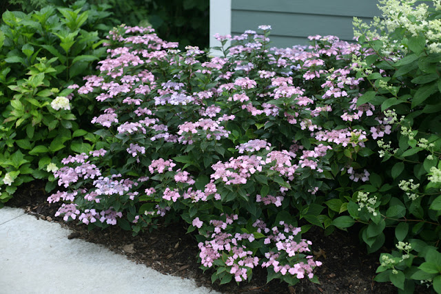 Tiny Tuff Stuff™ reblooming mountain hydrangea from Proven Winners ColorChoice