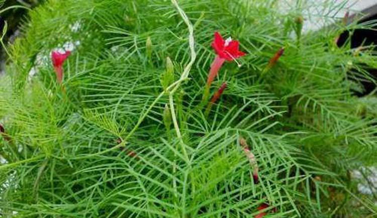 Tumbuhan Rincik Bumi Berkhasiat Untuk Obat Herbal