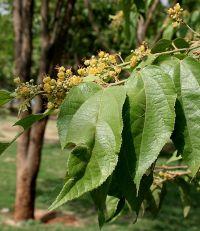 yakni tumbuhan yg tumbuh baik di iklim tropis dan tumbuh di dataran rendah dgn ketin Jati Belanda Tanaman Rempah