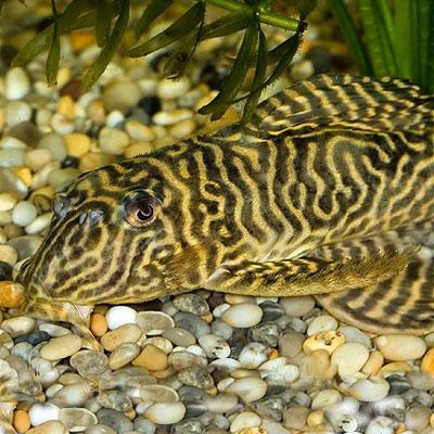 Jenis Ikan Sapu Sapu Hias Tiger Plecostomus
