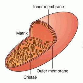Mitokondria Gambar Struktur Dan Fungsinya Baca Coding
