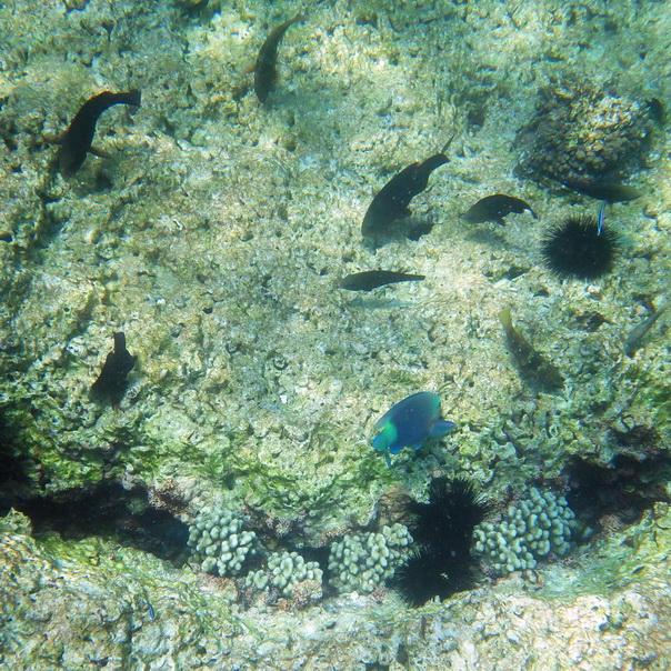 snorkeling, schnorcheln, daymaniyat, islands, inseln, fische, korallen, oman, Muscat, unterwasser, meer, seeigel