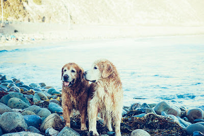 Two older golden retrievers are walking on rocks beside water
