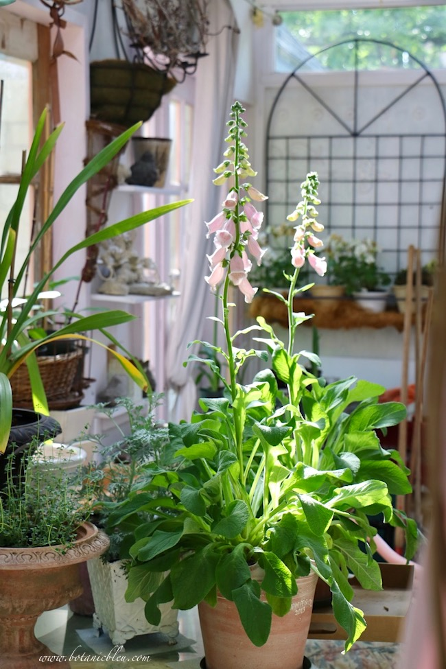 french style dream greenhouse with potted foxgloves used as annuals