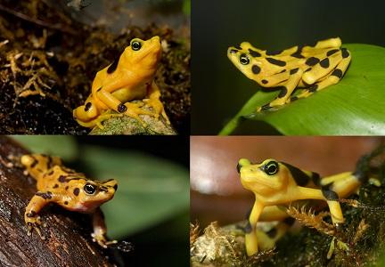 Panamanian Altın Kurbağa