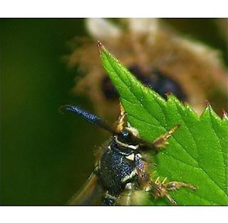 raspberry crowns wasp
