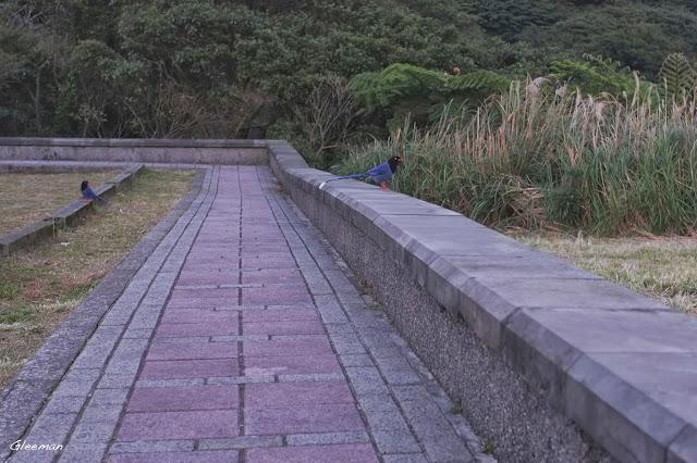 鞍部台灣藍鵲