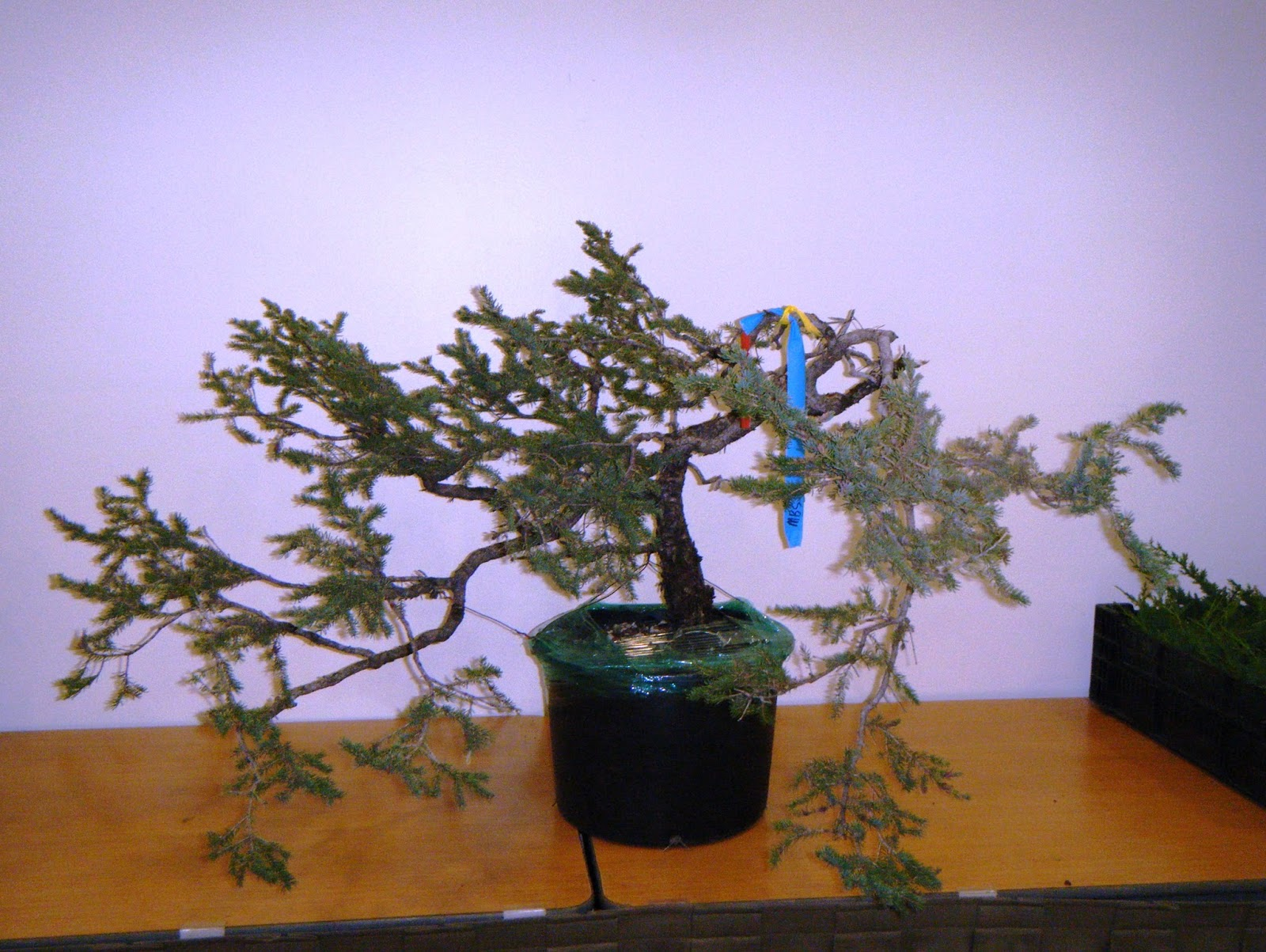 Bonsai In Hoosierland Spruce Unconventional Bonsai Design And - Black hills spruce bonsai trees