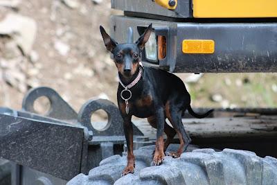 Miniature Pinscher, black and white dog breeds