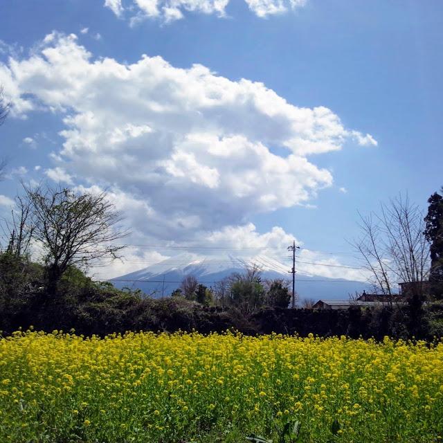 河口湖 八木崎公園  菜の花