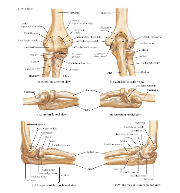 Bones of Elbow Anatomy