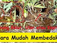 Cara mudah membedakan lubang belut, kepiting dan ular (ciri-ciri khusus)