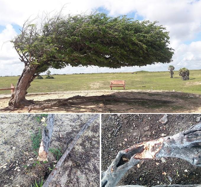 Vídeo: Árvore Penteada em Luís Correia tem raízes cortadas por vândalos