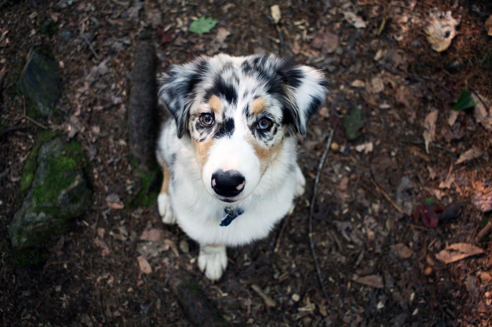 Australian shepherd puppy maine