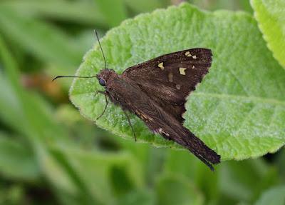 Mariposa coluda manchas doradas (Urbanus dorantes)