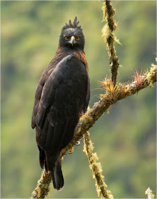 Black and chestnut Eagle