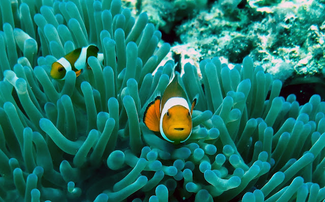 Caring for Clownfish