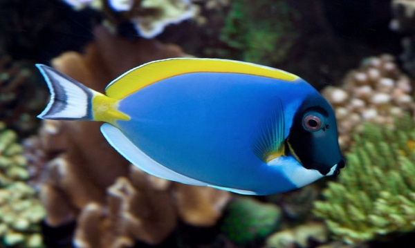 Powderblue Surgeonfish - S.E.A Aquarium