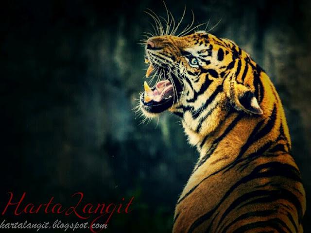 gambar macan dan taringnya