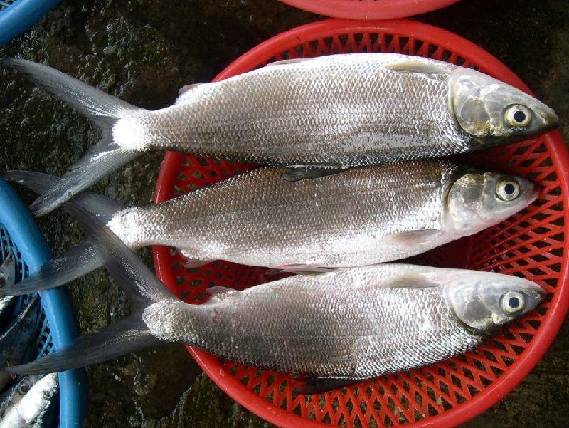 Gambar Ikan bandeng bernafas dengan insang dan termasuk jenis ikan bertulang sejati