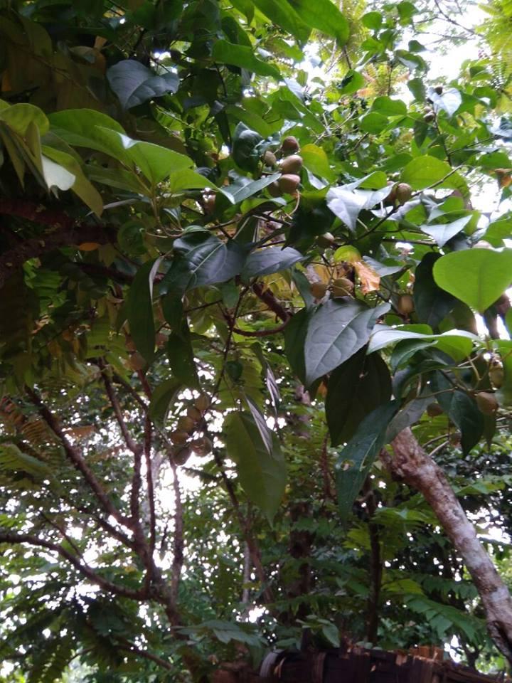 biji dan pohon polokyo
