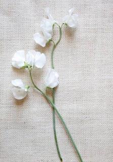 kwiaty w bukiecie Megan Markle groszek pachnący