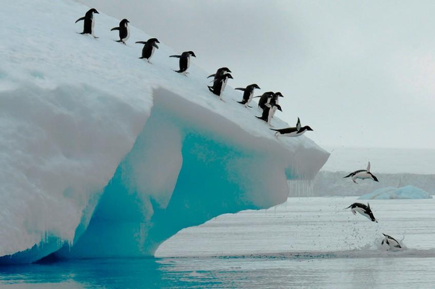императорские пингвины и глобальное потепление