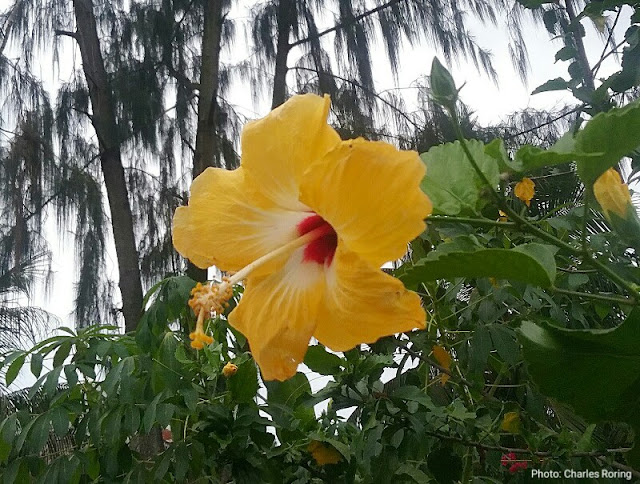 Yellow beach hibiscus