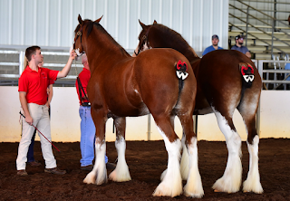 draft horse, ridden draft horse, draft horse under saddle, ride a draft, clydesdale, clydesdale mare, heavy horse, heavy horse ridden
