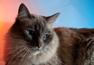 Sejarah Ras Kucing Kashmir